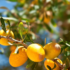 Масло из аргана – прекрасное и редкое